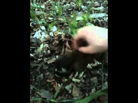 Baby Raccoon Loving Waldumar Rabies ?