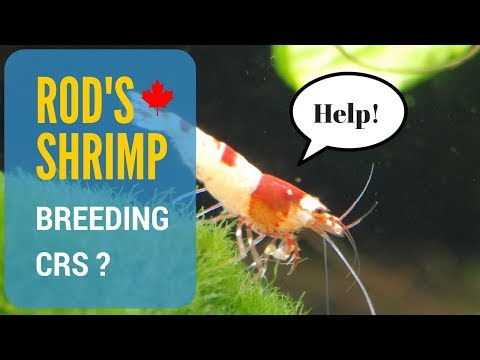 Why Aren't My Crystal Red Shrimp Breeding? (2018)