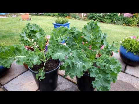 Grow Curly Kale in a pot on a patio  Part 1