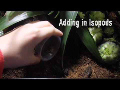 Adding Isopods To Natural Terrarium