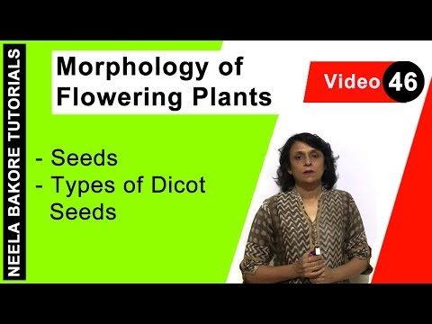 Morphology of Flowering Plants - Seeds - Types of Dicot Seeds
