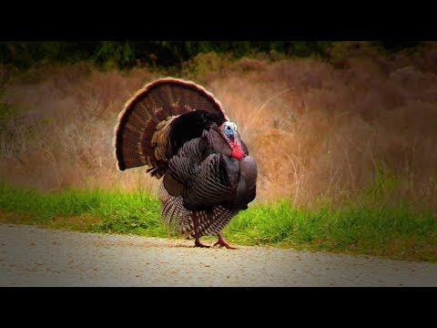 Mark Drury and Cameraman Wade Toss Lead at Turkeys in Texas!