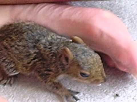 simms cares for baby squirrels they drink milk 2010.AVI
