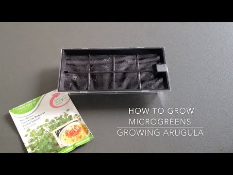 How to grow arugula - Grow arugula microgreens FAST and EASY (2 methods - hydroponics and coco coir)