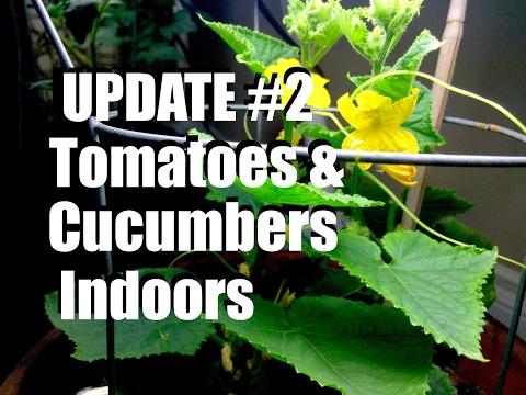 Growing Tomatoes & Cucumbers Indoors: UPDATE #2  //  Livestream (replay)
