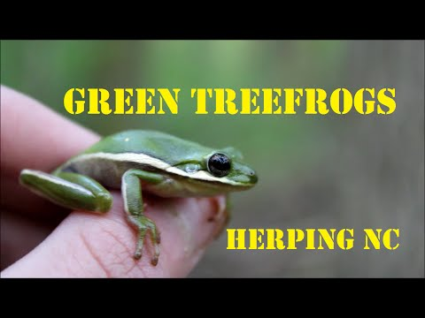 Catching Green Treefrogs [NC]