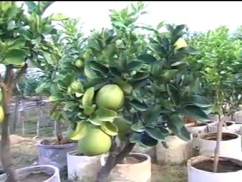 Teknologi Top Working Pada Tanaman Buah-buahan