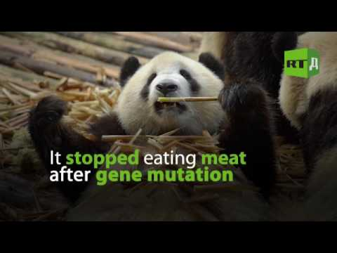 6 surprising facts about Giant Panda