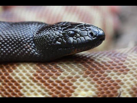 Aussie Pythons : SnakeBytesTV