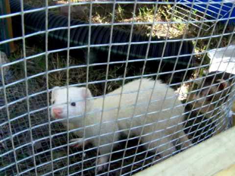 Outdoor Ferret Enclosure
