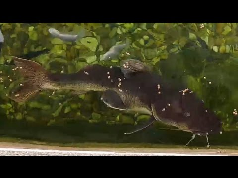40inch Catfish eating PELLETS! + Koi Pond Fully FILLED!