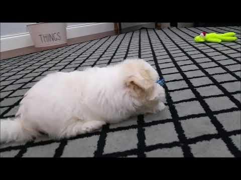 Maltipoo puppies for sale in Florida - Tampa - Miami - Orlando - Sarasota - Ft. Myers