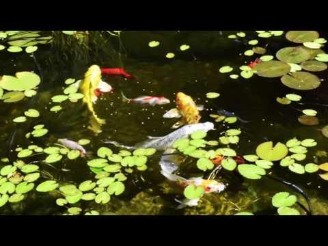 The Magic of a Koi Pond