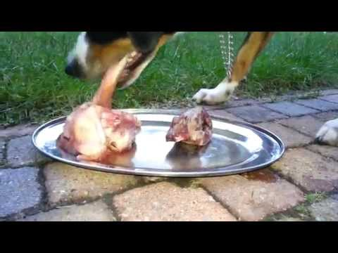 Appenzell Mountain dog mix eats raw meat and bones (BARF NRV)