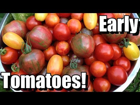 My Quest for Tomatoes in June