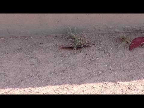 Scary Centipede in China: Creepy Creature 2