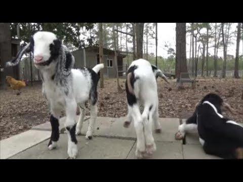 goat babies!