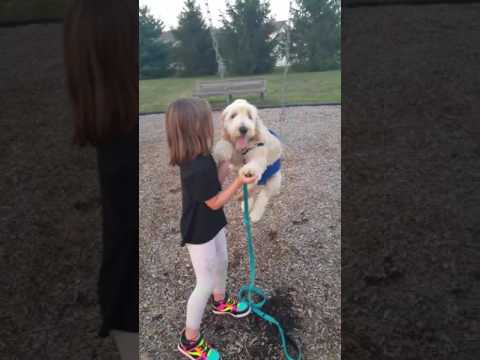 5 Month Old Goldendoodle Puppy on a Swing