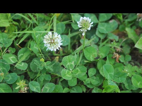 Controlling Clover in Your Yard