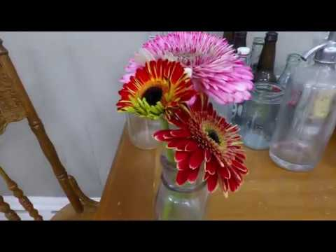 Gerbera Daisy time-lapse