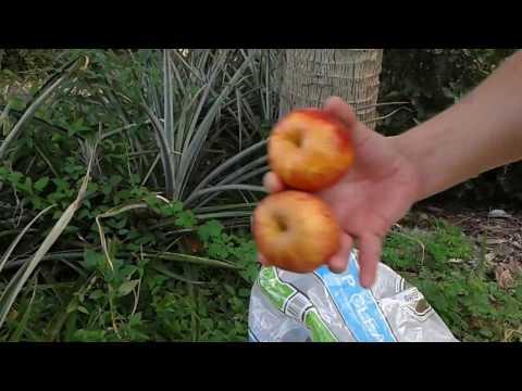 Pineapple Farming 9
