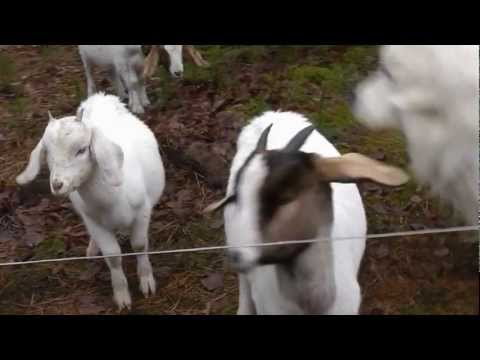 Goat Tests The Electric Fence