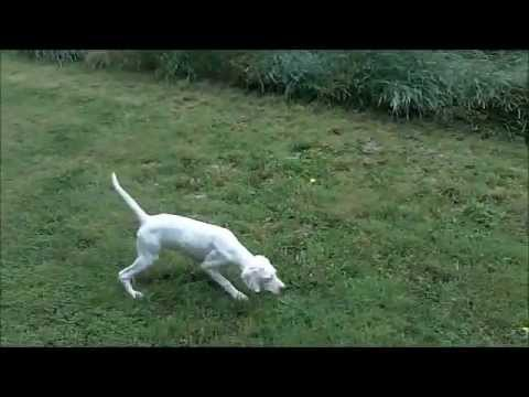 PICK OF THE LITTER!!  ENGLISH POINTER FEMALE PUP