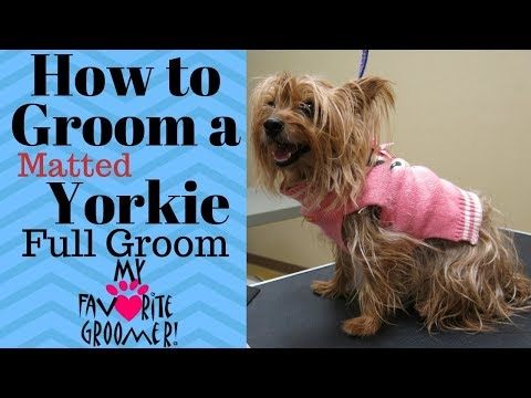 How to Groom a Yorkie Matted