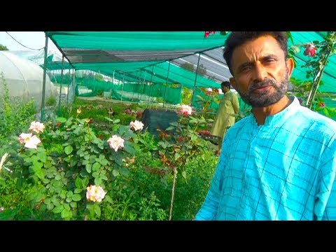 Expert briefing on Rose Plant Care | Detail Informative Talk on Desi and English Rose