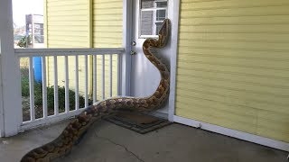African Rock Python tries to Enter Home--Eats Rabbit Instead (Time Lapse X5)