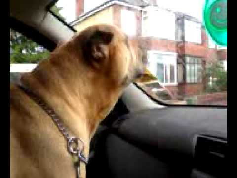 Millie the dog barks excitedly in the car