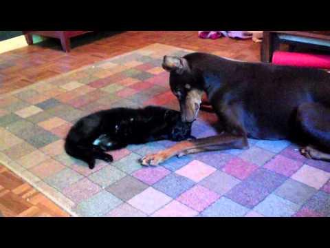Doberman loves (and hugs!) his blind cat part 2