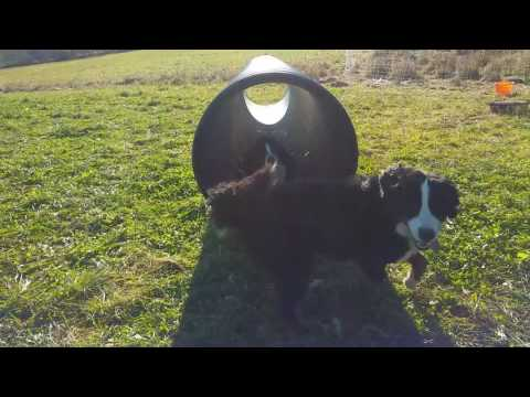 Bernese Mountain Dogs Play in Culvert Pipe