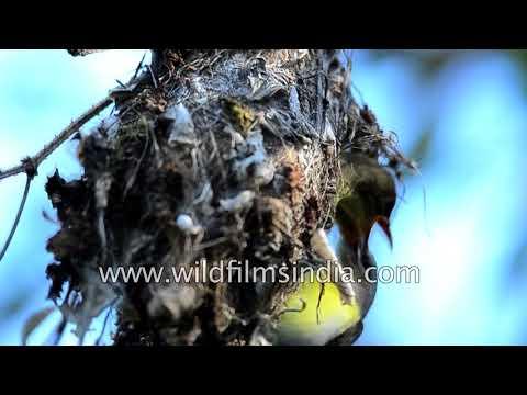 Purple-rumped Sunbird at pendulous nest made of dead leaves and cobwebs