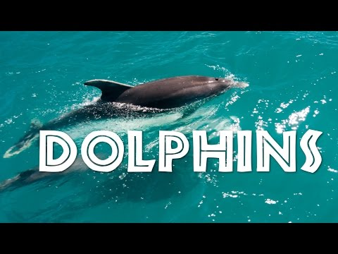 All About Dolphins for Kids: Dolphins for Children - FreeSchool