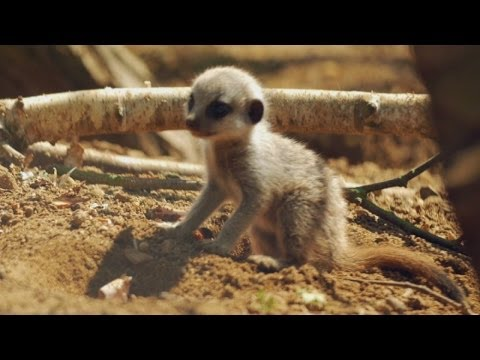 Baby meerkats take their first steps outside at Chester Zoo