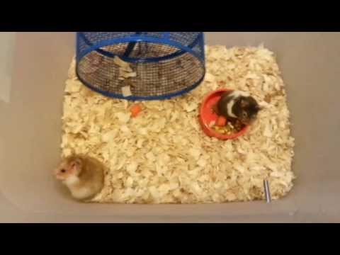 Male and female hamster getting to know each other