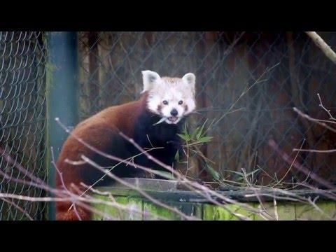 Red Panda Eating Bamboo - Roter Panda isst Bambus