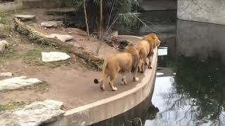 Lion Falls into the Water in German Zoo|Āwesomesauce|Hilarious Animal Fail