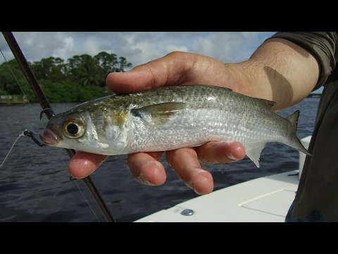 Fishing With Live Mullet