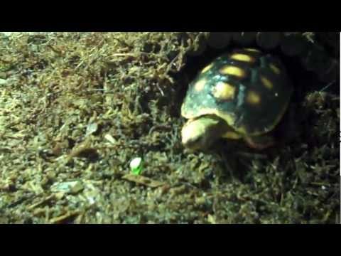 Feeding Redfoot Tortoises: Mini Compilation Video :).