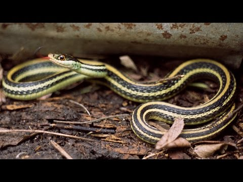 RIBBON SNAKE  - facts & Information