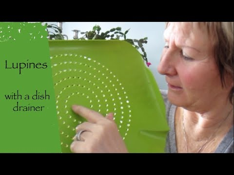 Making of Lupines soap with a strainer