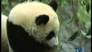 ►Tv7◄ Nella terra dei panda