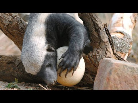 A Honey Badger Cracks Open a Thick Ostrich Egg