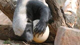 A Honey Badger Cracks Open a Thick Ostrich Egg