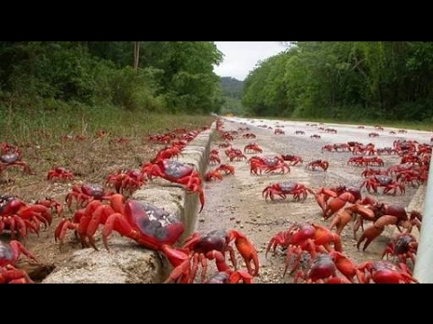 Millions of red crabs migrates at Christmas island, Australiya