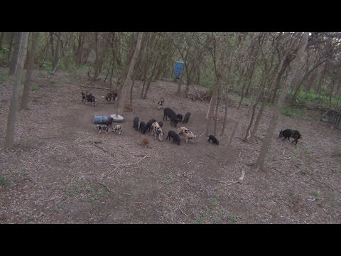 21 Feral Hogs at the Feeder, No Black Jack