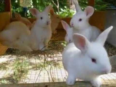 Majors Rabbitry