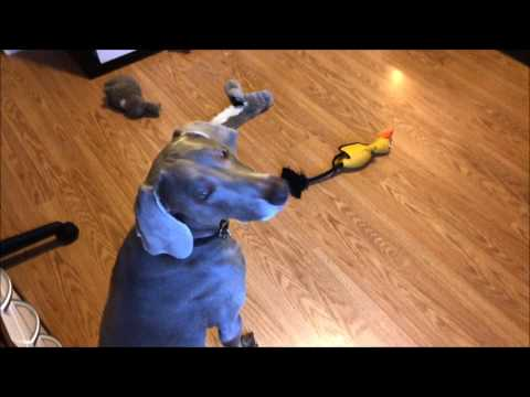 5 Tricks To Keep Your Weim Busy